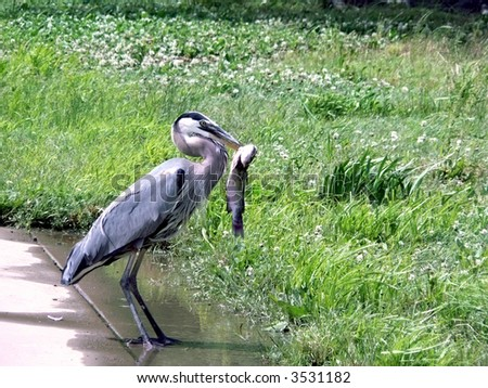 a great blue heronwith catfish in a city park of Washington, DC.  Includes copy and crop space. - stock photo