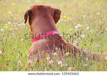 A great dog waiting for his master at the adge of the meadows. - stock photo