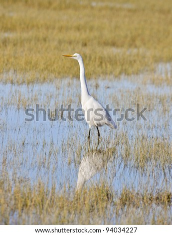 A Great Egret, Ardea alba, stands in wetlands at Arcata Marsh and Wildlife Sanctuary, Arcata, California.