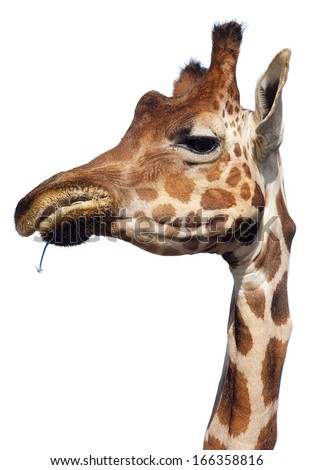 a great giraffe eating herbs, isolated on white