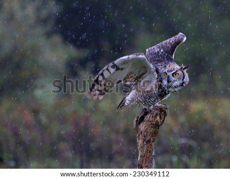 A Great Horned Owl (Bubo virginianus) about to take-off from a stump with rain falling in the background.  - stock photo