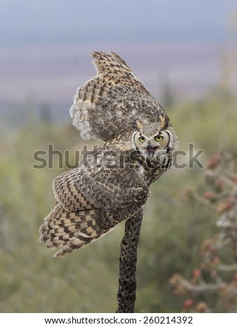 A great horned owl prepared to launch from a cactus stalk.
