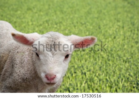 a great image of a young lamb on the farm