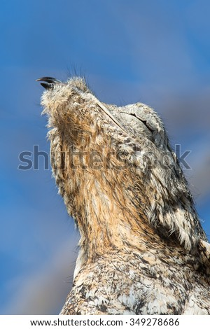 A Great potoo (Nyctibius grandis) close up of upper body and head against a blue sky, and blurred background, Pantanal, Brazil