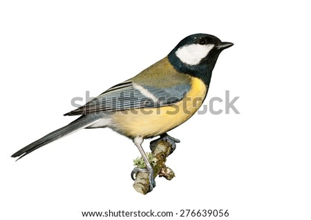 A great tit isolated on white background - stock photo