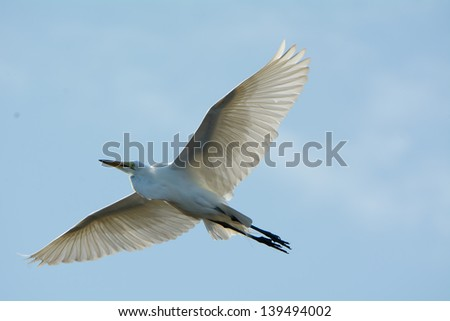A Great White Egret in Flight backlit