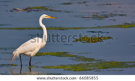 A great white egret standing in water in a marsh. This photo is in panoramic format. - stock photo