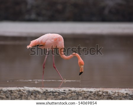 A Greater Flamingo (phoenicopterus roseus) eating shrimp.  Punta Cormorant, Floreana Island, Galapagos, Ecuador. - stock photo