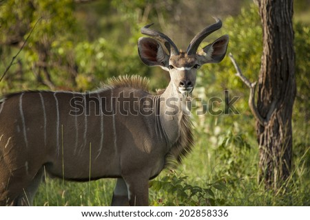 A Greater Kudu Male Standing in the South African Busveld in the Kruger National Park - stock photo