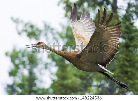 A Greater Sandhill Crane shows off its massive wingspan. - stock photo