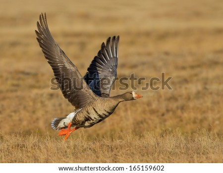 A greater white-fronted goose takes flight from the arctic tundra