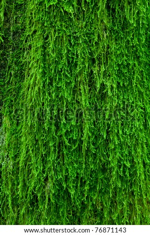 A green and fresh moss on a tree bark