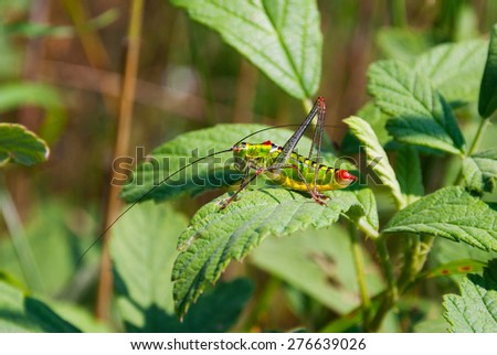 A green and red cricket on a leaf - stock photo