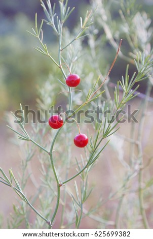 A green asparagus branch with three red berries outdoors in the wild in autumn in august closeup.
