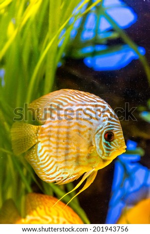 Stock photos royalty free images vectors shutterstock for Colorful freshwater aquarium fish