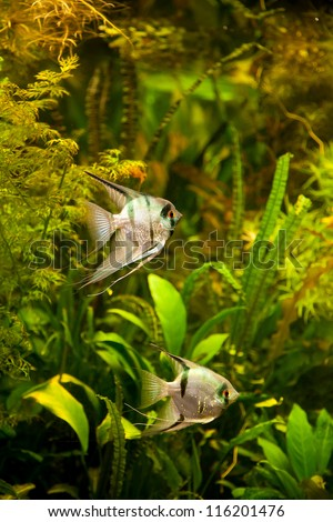 A green beautiful planted tropical freshwater aquarium with fish pterophyllum scalare - stock photo