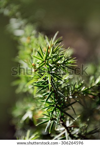 a green branch of pine-tree is a background - stock photo