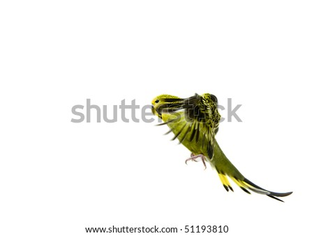 A green budgie about to land after flying - stock photo