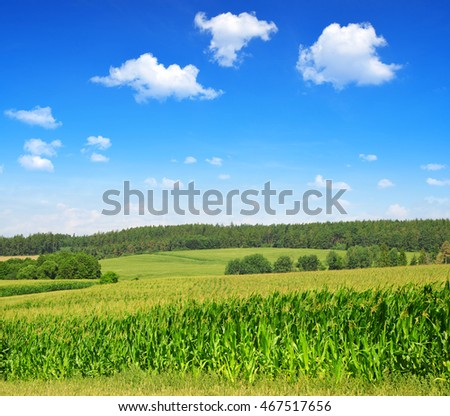 A green field of corn in sunny day.