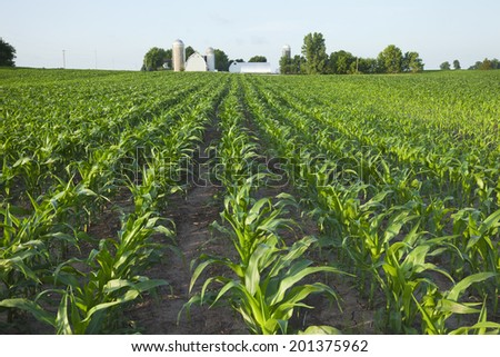 A green field of young corn plants with a farm in the background - stock photo