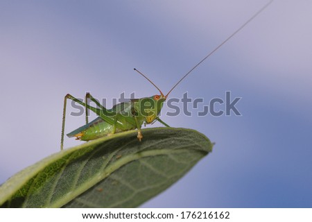 A green grasshopper on a green leaf with a blue sky background. - stock photo