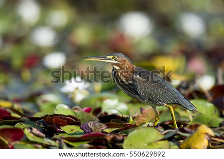 A Green Heron walks across the bright green lilly pads on a sunny day.