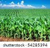 a Green maize field - stock photo