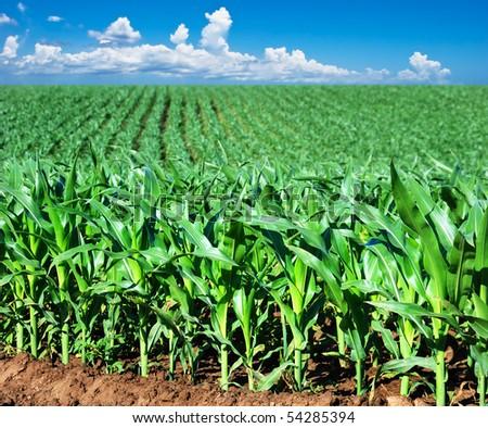 a Green maize field - stock photo