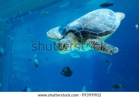 A green sea turtle swimming in aquarium
