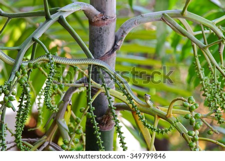 A green snake (Chrysopelea ornata) named Golden tree snake, ornate flying snake, golden flying snake on Foxtail palm tree - stock photo