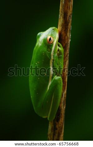 A green tree frog (Hyla cinerea) shading under canopies