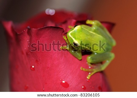 A green treefrog on a red rose - stock photo