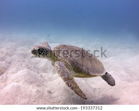A Green turtle (Chelonia mydas) just finished eating on the sandy bottom of a beautiful shallow lagoon - stock photo