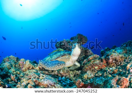 A Green Turtle sits on a tropical coral reef with a Remota on its back and sunburst behind - stock photo