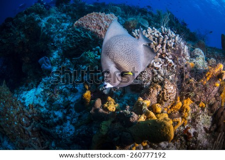 A grey angel fish swimming over the reef - stock photo