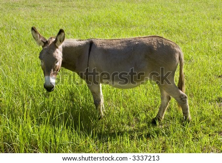 a grey brown donkey or ass grazing on grass in a lush green field - stock photo