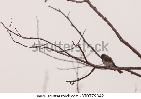 A grey female tree swallow bird, Tachycineta bicolor, sits in a tree at the San Joaquin wildlife sanctuary