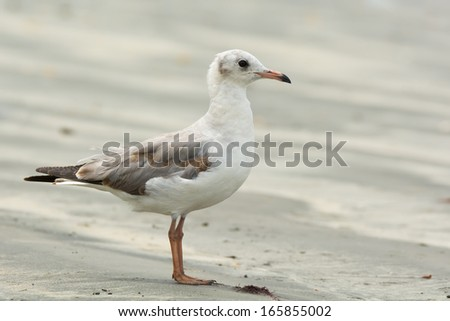 A Grey-Headed Gull (Larus cirrocephalus) in profile standing on the beach - stock photo