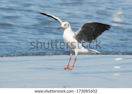 A Grey-Headed Gull (Larus cirrocephalus) landing on the beach - stock photo