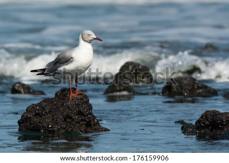 A Grey-Headed Gull (Larus cirrocephalus) standing on a rock in the ocean - stock photo