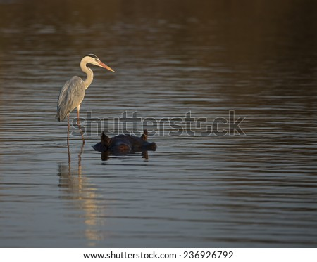 A Grey Heron stands on a Hippos back to Fish - stock photo