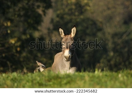 A grey/light brown donkey in the countryside is looking carefully in fron of him - stock photo