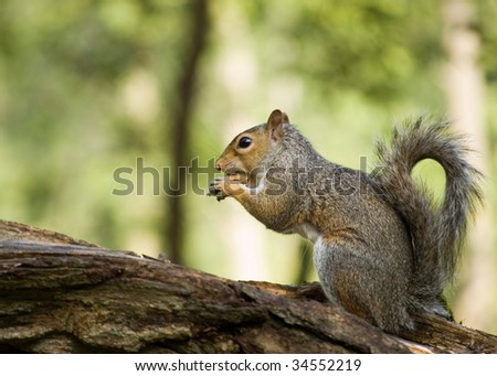 A grey squirrel perched on a tree trunk eating a peanut. - stock photo