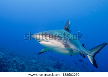 A grey white shark jaws ready to attack underwater close up portrait