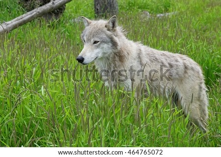 A grey wolf in the grass in alaska
