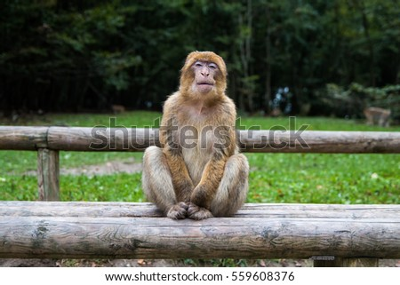 A grinning monkey at the monkey forest in Germany