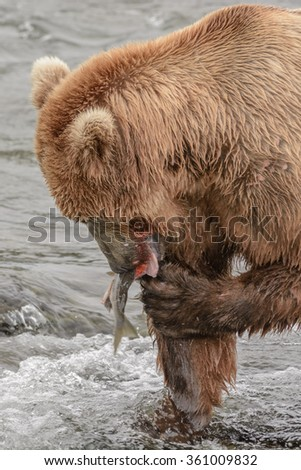 A grizzly bear eats a salmon it has just caught a the top of a waterfall - Brook Falls - Alaska
