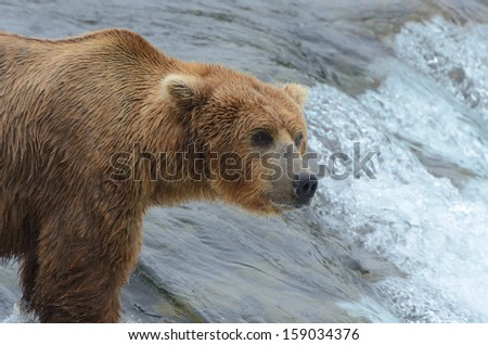 A grizzly bear waiting for a salmon at Brooks falls, Katmai National Park, Alaska. - stock photo