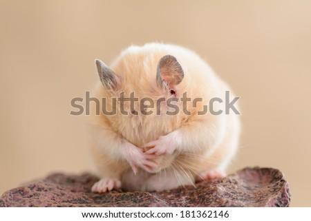 A grooming golden hamster on a rock - stock photo