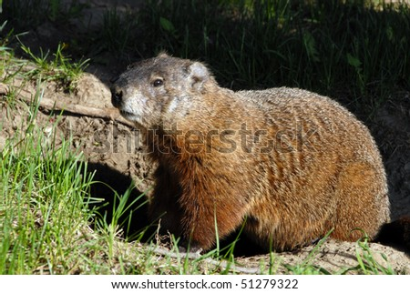 A groundhog Toronto Ontario. Canada. - stock photo